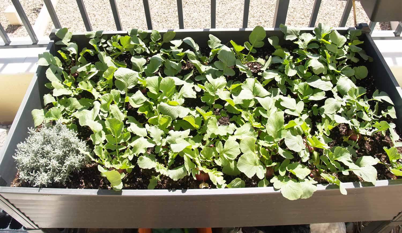 Cultivo de Rabanitos para el huerto de casa