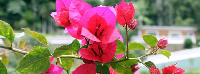 Buganvilla – Plantas de Exterior y Color en tu Jardín