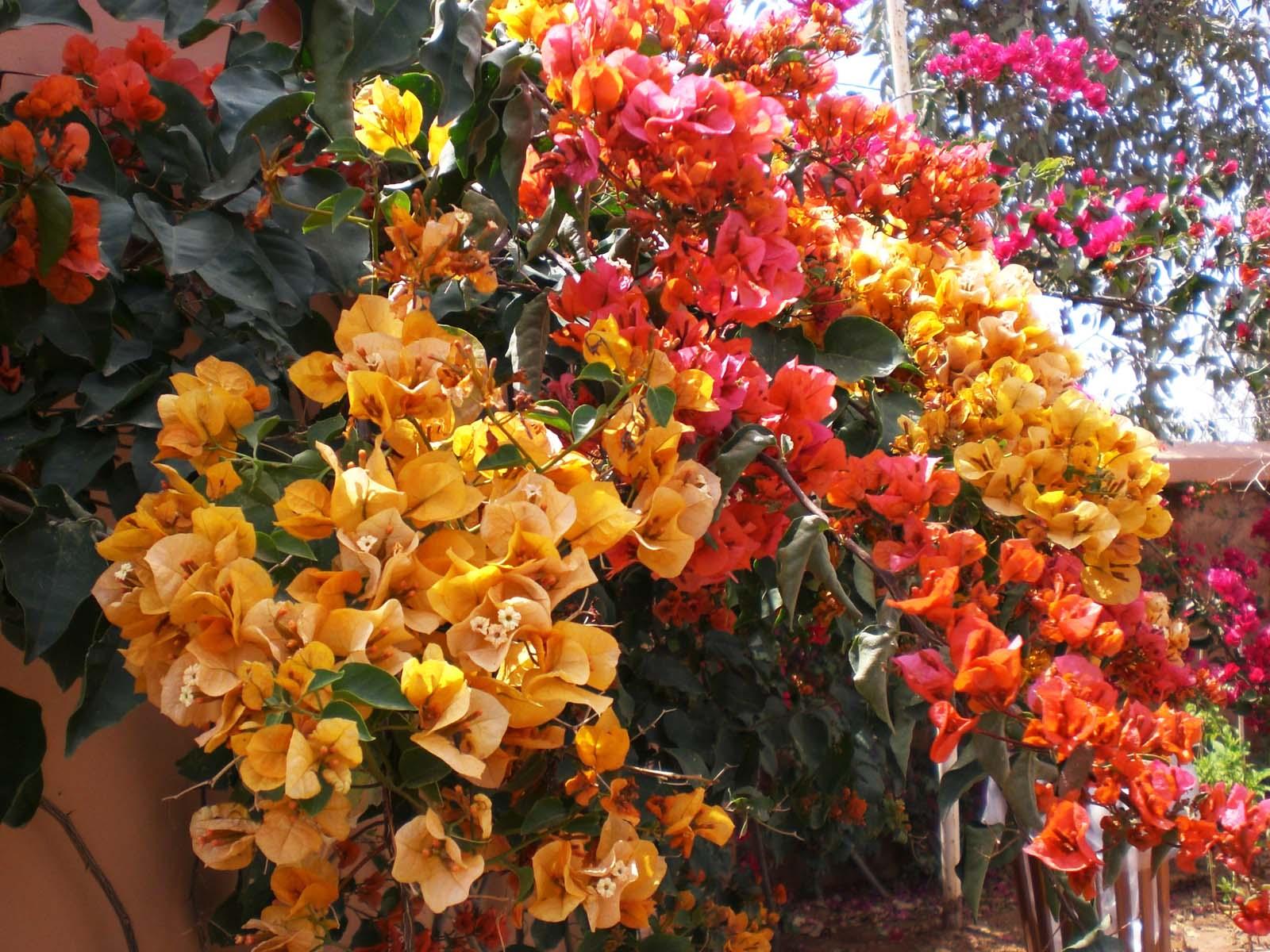 buganvilla colores cálidos