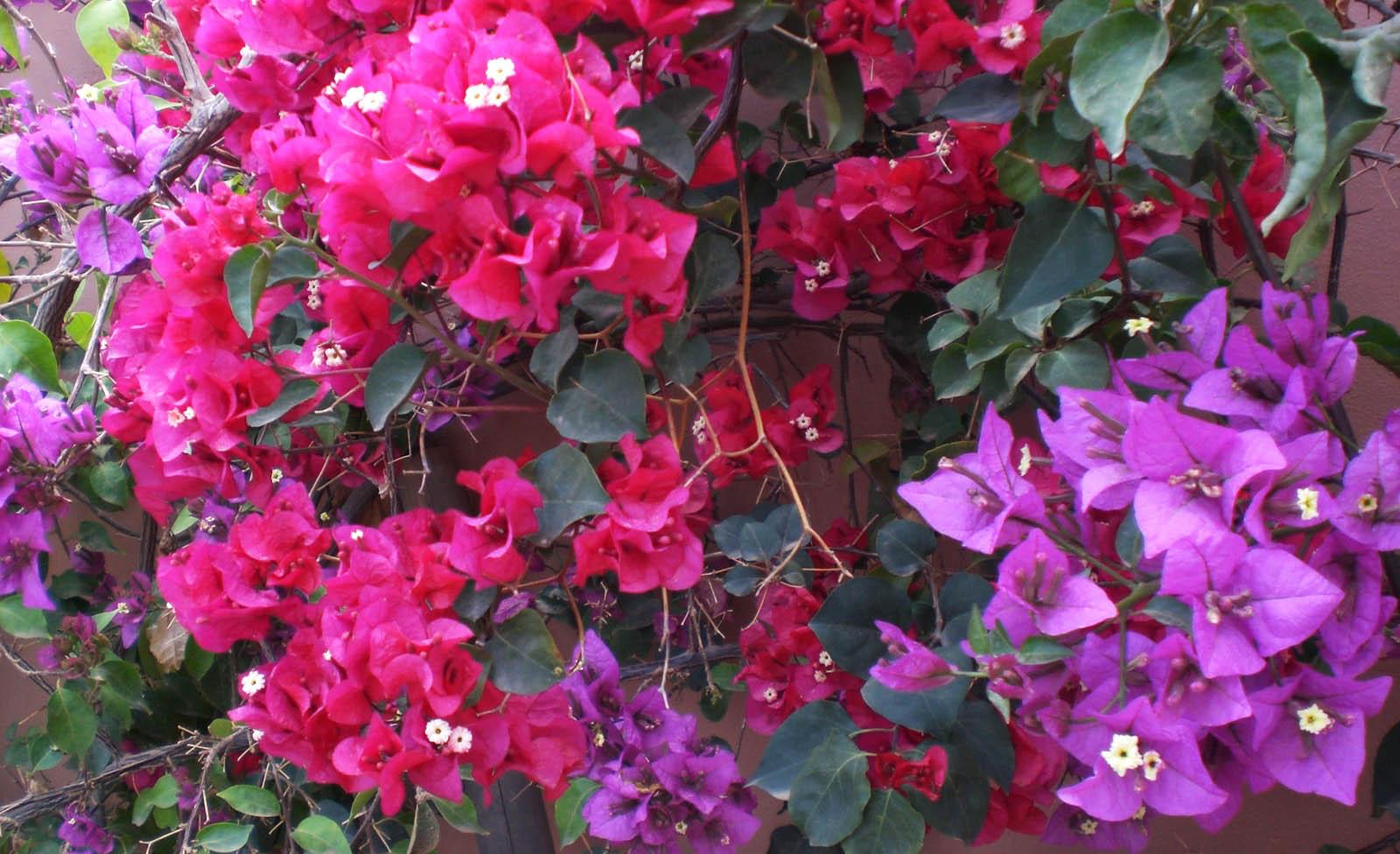 buganvilla colores calidos
