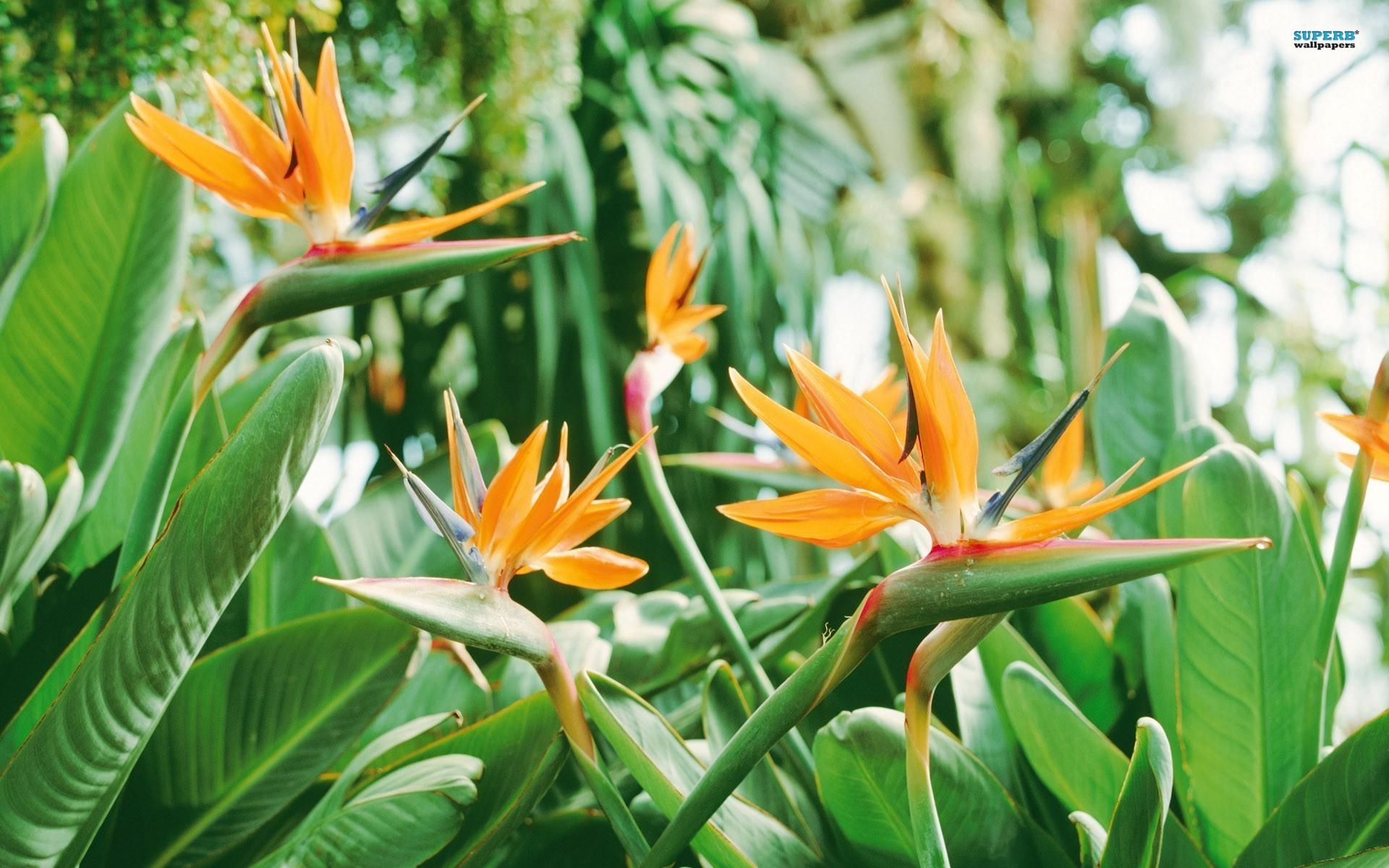 Plantas de Jardín - Strelitzia Ave del Paraiso