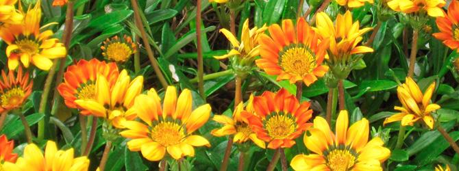 Plantas y flores: Gazania, color a ras del suelo