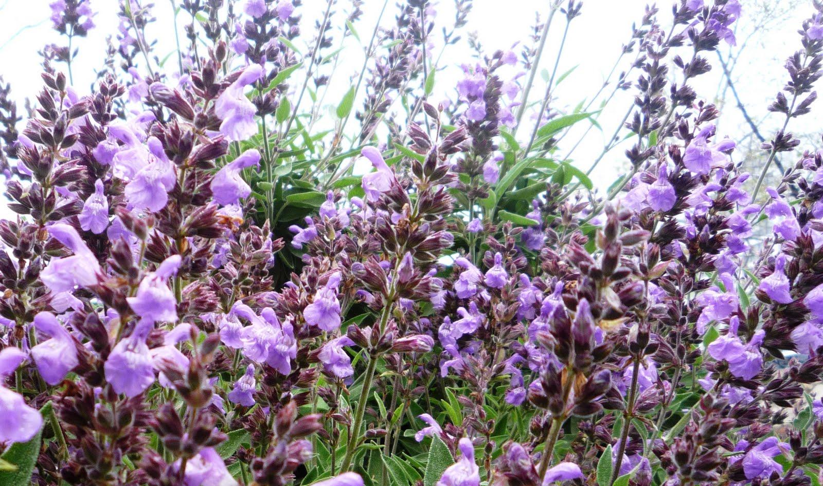 Salvia Diseño de Jardín