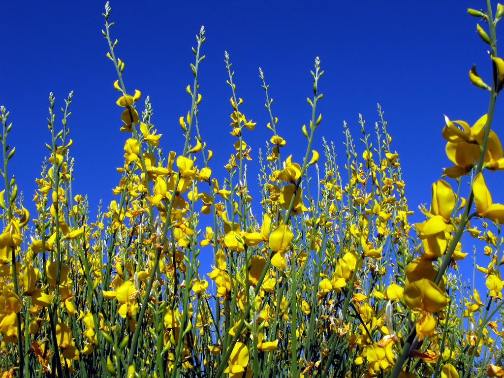 Retama Flor