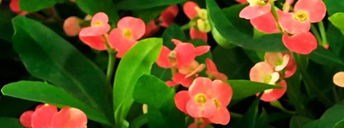 Corona de Espinas – Floración todo el año